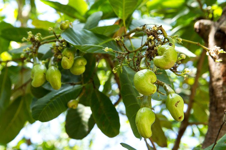 Cashew nuts are actually the fruit tree product