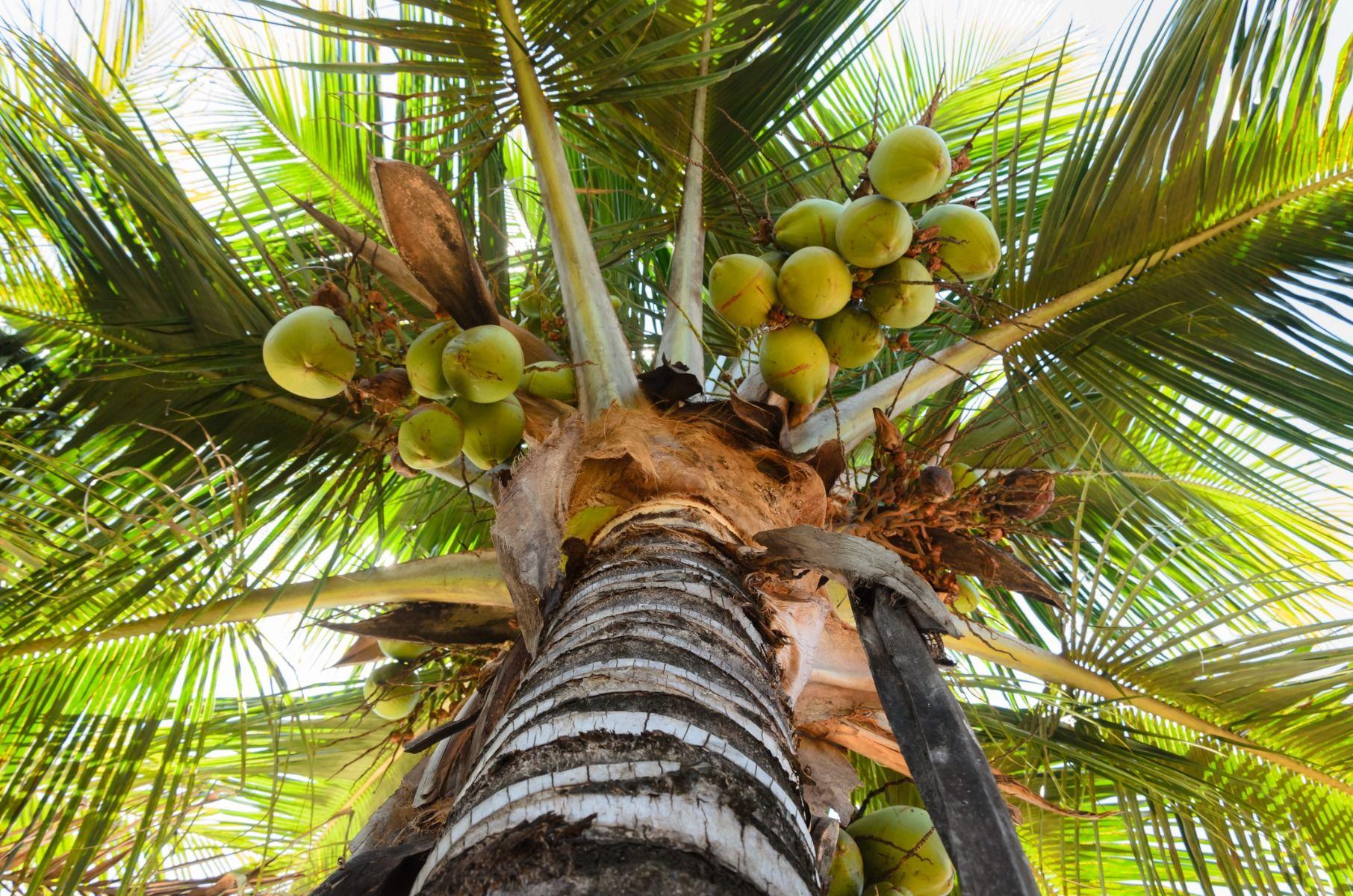 cum să pierzi grăsimea de palmier)