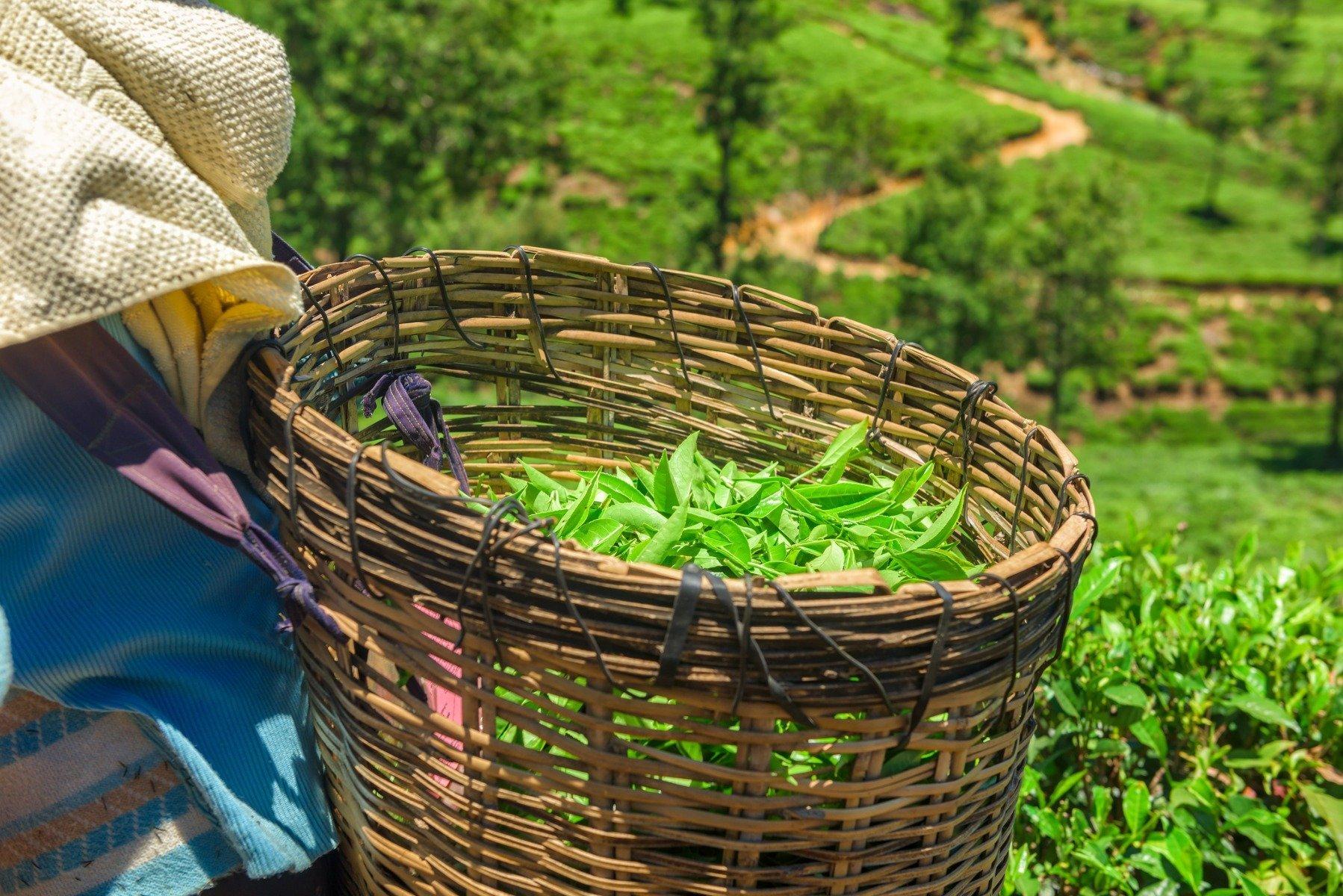 Grüner Tee, um Gewicht zu verlieren, wenn Sie sie nehmen